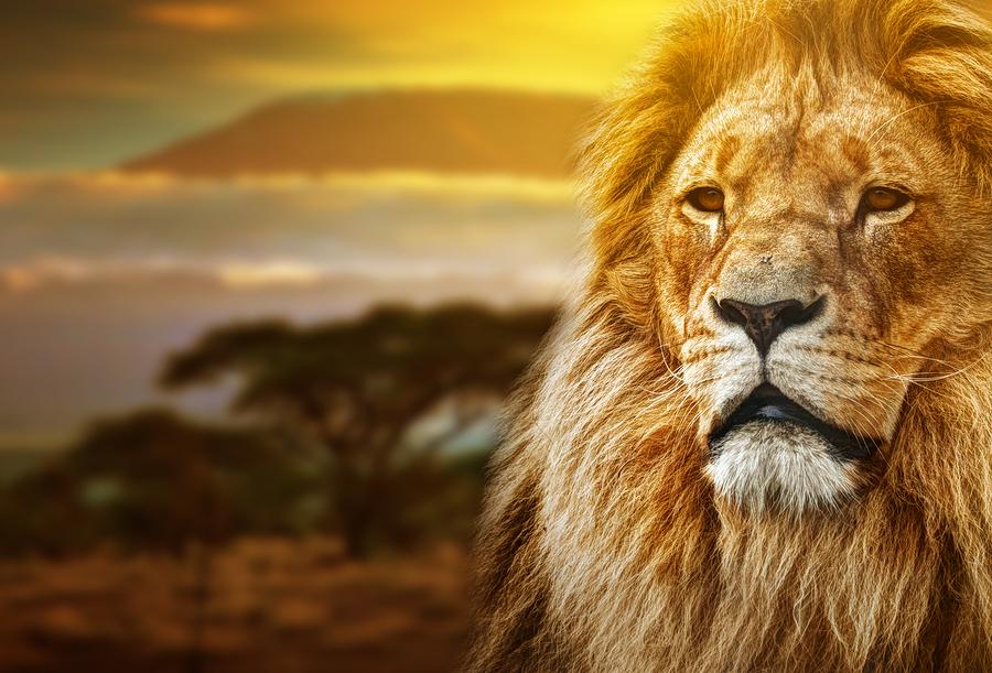 Lion portrait on savanna landscape background and Mount Kilimanj