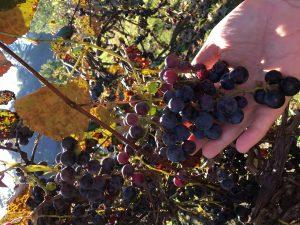 morning-grapes